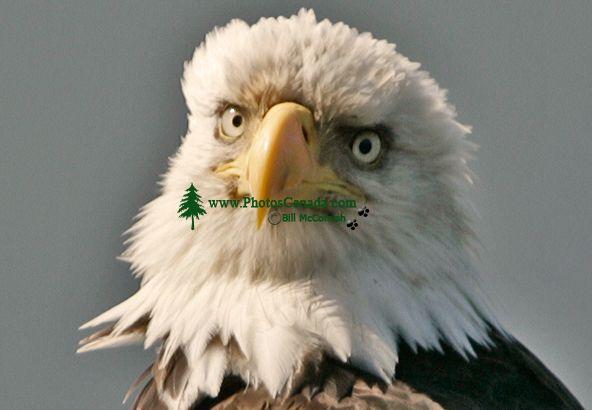 Bald Eagle, British Columbia, Canada CM-04
