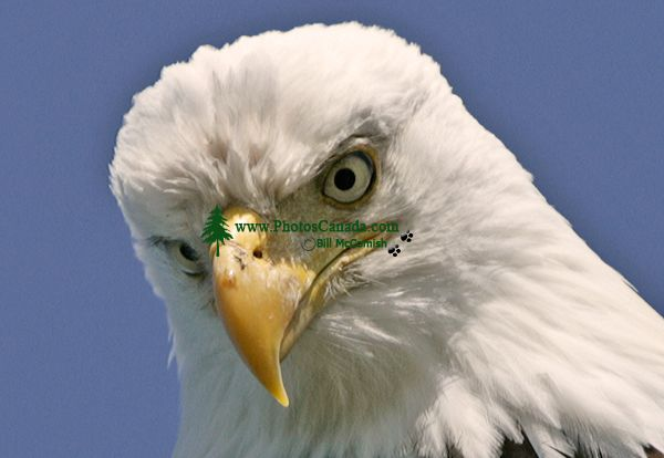 Bald Eagle, British Columbia, Canada CM-03