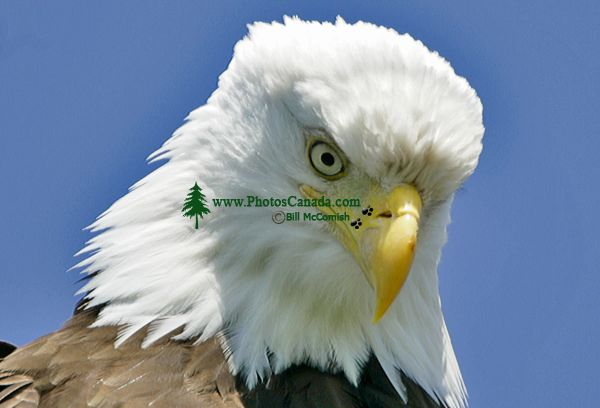 Bald Eagle, British Columbia, Canada CM-02