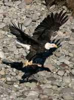 Bald Eagle With Salmon, Squamish, British Columbia, Canada CM11-15