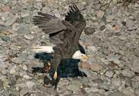 Bald Eagle With Salmon, Squamish, British Columbia, Canada CM11-14