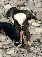 Bald Eagle Feeding On Salmon, Squamish, British Columbia, Canada CM11-07
