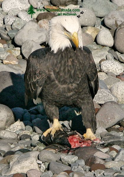 Bald Eagle Feeding On Salmon, Squamish, British Columbia, Canada CM11-08