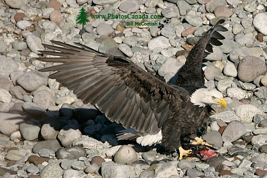 Bald Eagle Feeding On Salmon, Squamish, British Columbia, Canada CM11-09