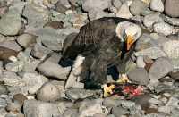 Bald Eagle Feeding On Salmon, Squamish, British Columbia, Canada CM11-10
