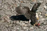 Bald Eagle Feeding On Salmon, Squamish, British Columbia, Canada CM11-11