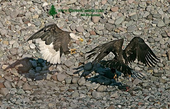Bald Eagles Fighting Over Salmon, Squamish, British Columbia, Canada CM11-04