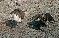 Bald Eagles Fighting Over Salmon, Squamish, British Columbia, Canada CM11-04