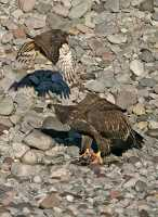 Bald Eagles Feeding On Salmon, Squamish, British Columbia, Canada CM11-13