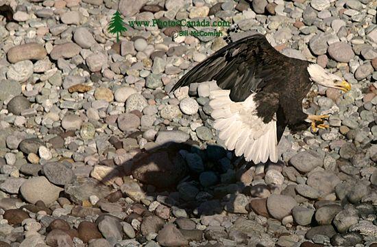 Bald Eagles Fighting Over Salmon, Squamish, British Columbia, Canada CM11-05