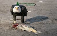 Highlight for Album: Bald Eagles Eating Salmon, Squamish, British Columbia, Canada, Canadian Wildlife Stock Photos