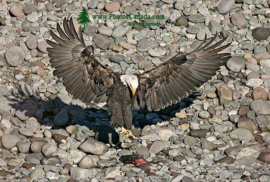 Bald Eagle Feeding On Salmon, Squamish, British Columbia, Canada CM11-06