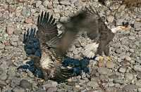 Bald Eagles Fighting Over Salmon, Squamish, British Columbia, Canada CM11-03
