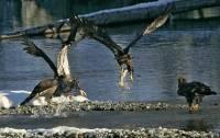Highlight for Album: Bald Eagle Photos, Squamish, Brackendale, Photographed on January 2009,  British Columbia. Canada, Canadian Wildlife Stock Photos