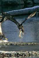Juvenile Bald Eagle Catching Fish CM11-16