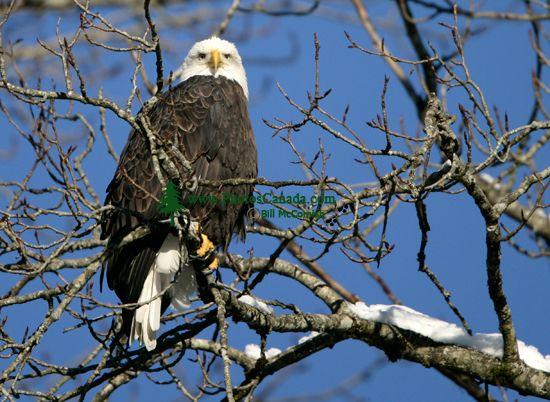 Bald Eagle CM11-01