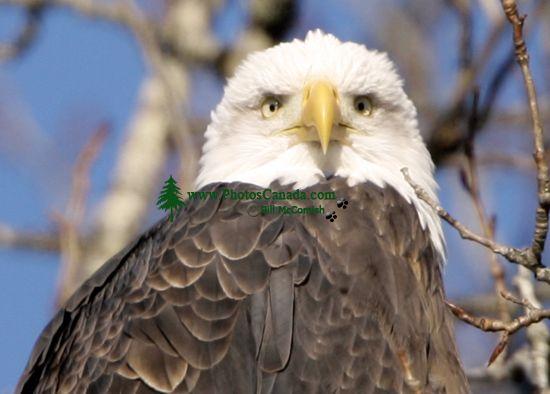 Bald Eagle CM11-02