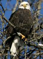 Bald Eagle CM11-03