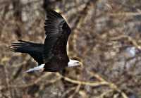 Bald Eagle CM11-04