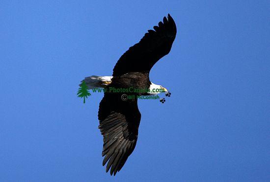 Bald Eagle CM11-05