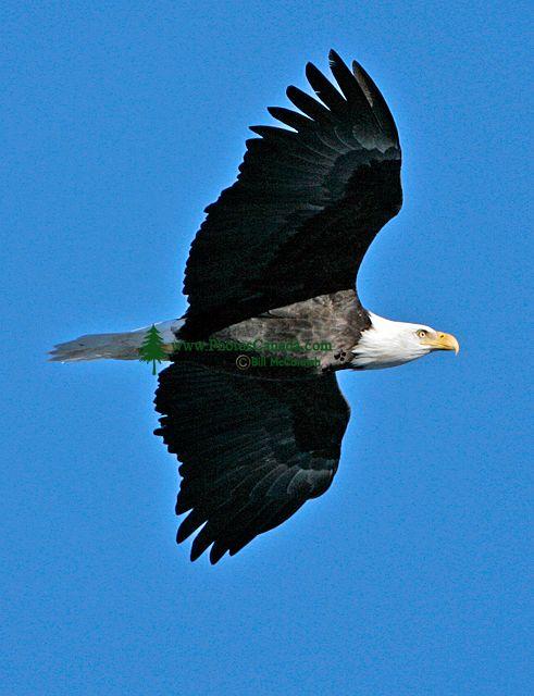 Bald Eagle CM11-06