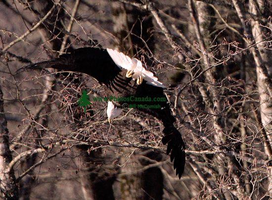 Bald Eagle CM11-07