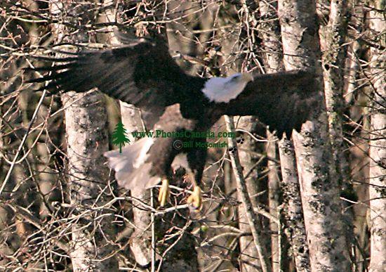 Bald Eagle CM11-08