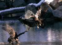 Juvenile Bald Eagles CM11-17