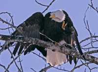 Bald Eagle Scratching Head CM11-20