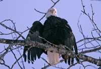 Bald Eagle Scratching Head CM11-21