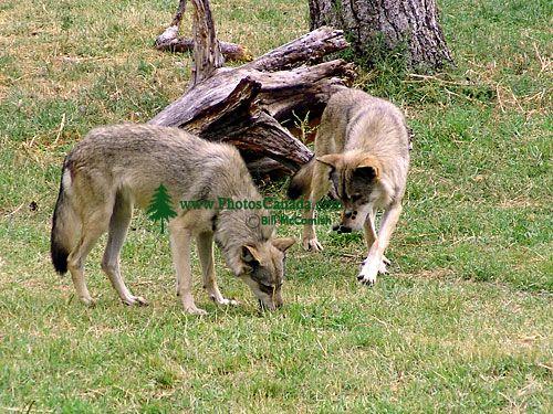 Canadian Wolves, BC Wildlife Park, Kamloops, British Columbia, Canada    07