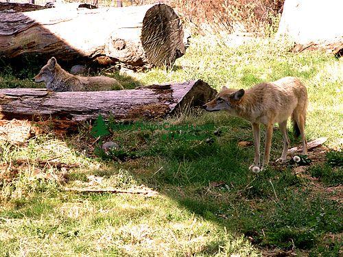 Coyote, BC Wildlife Park, Kamloops, British Columbia, Canada   05