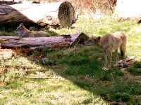 Coyote, BC Wildlife Park, Kamloops, British Columbia, Canada   05