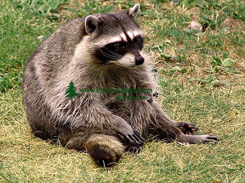 Raccoon, BC Wildlife Park, Kamloops, British Columbia, Canada   02