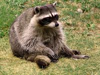 Raccoon, BC Wildlife Park, Kamloops, British Columbia, Canada   02