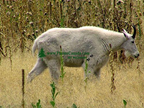 Mountain Goat, BC Wildlife Park, Kamloops, British Columbia, Canada   03
