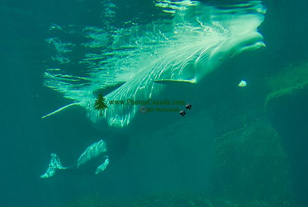 Beluga Whale Mother Qila and Newborn Baby Nursing, Vancouver Aquarium, June 27, 2008, British Columbia, Canada CM11-007