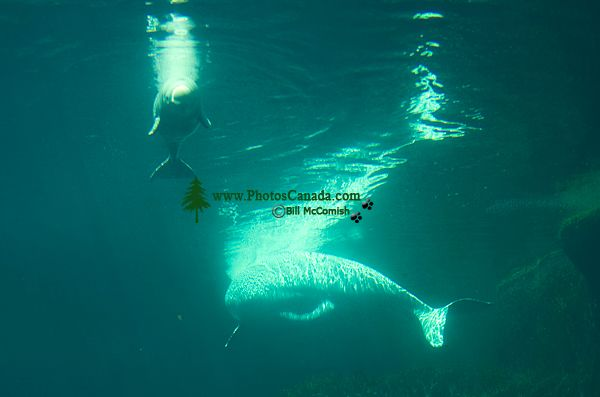 Vancouver aquarium s newborn beluga whale and mother qila photos june