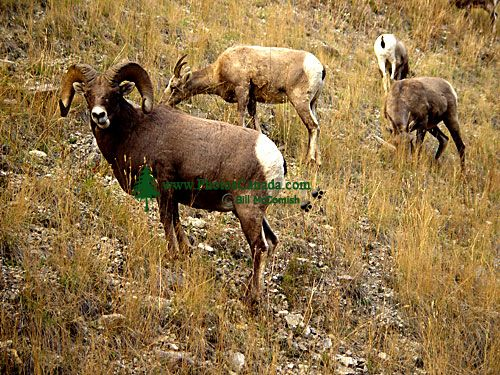 Rocky Mountain Bighorn Sheep Band 02