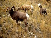 Rocky Mountain Bighorn Sheep Band 02