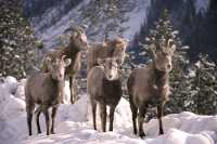 Big Horn Sheep CM11-23