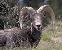 Big Horn Sheep CM11-37