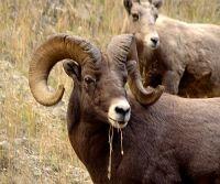 Rocky Mountain Bighorn Sheep Ram 05