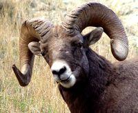 Rocky Mountain Bighorn Sheep Ram 08