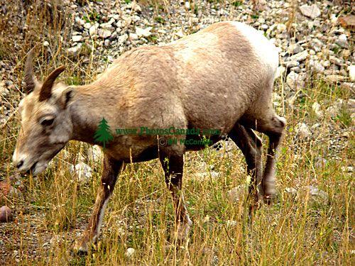 Rocky Mountain Bighorn Sheep Lamb 03