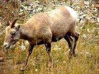 Rocky Mountain Bighorn Sheep Lamb 03