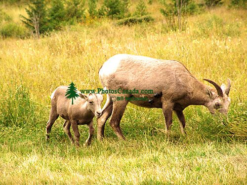 Rocky Mountain Bighorn Sheep and Lamb 04