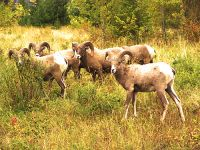 Rocky Mountain Bighorn Sheep Band 01