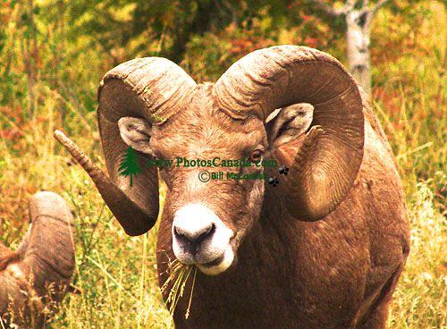 Rocky Mountain Bighorn Sheep Ram 07