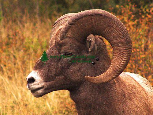 Rocky Mountain Bighorn Sheep Ram 06